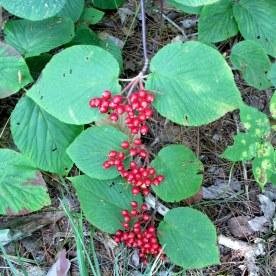 hobblebush berries, 21 Aug 2015