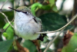 hummingbird in honeysuckle, July 2015