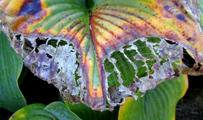 hosta leaf, Oct 2015
