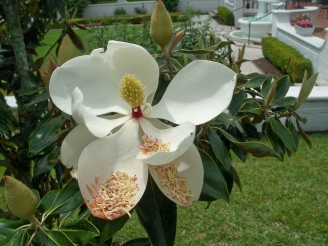 jicranecottageopenmagnoliabloom22April2012