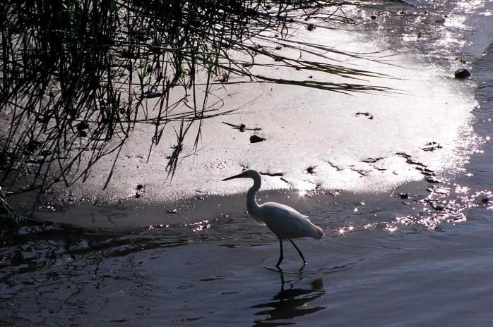 heron, evening, Jekyll Island, 2005