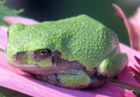 juvenile grey tree frog on echinacea, Aug 2014