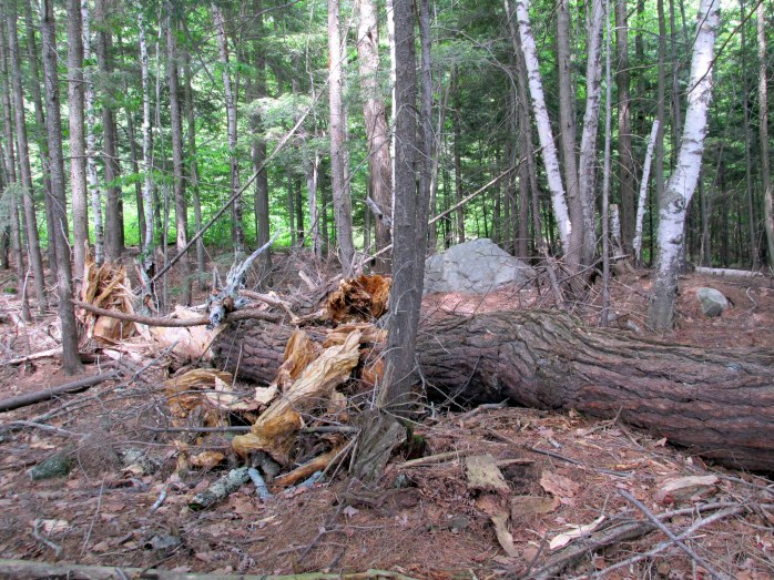fallen tree, Fells trail, Newbury, NH, June 2015