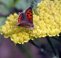 American Copper butterfly (Lycaena Phlaeas) on yarrow, July 2013