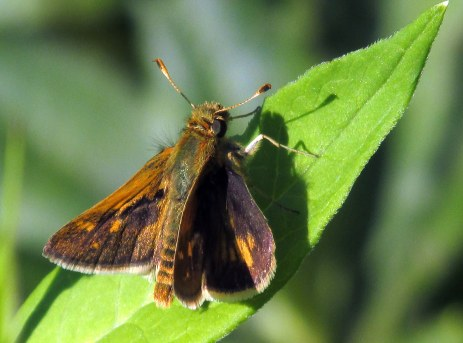 male Pecks skipper butterfly, Aug 2015
