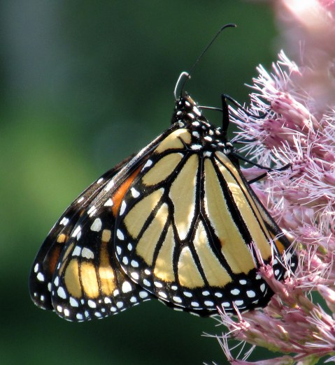 monarch butterfly on Joe Pye weed, Sept 2015