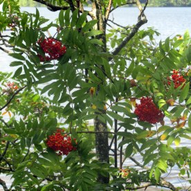 mountain ash with berries, 1 Sept 2014
