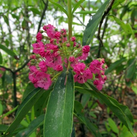 mountain laurel, 14 June 2013