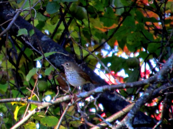 hermit thrush in apple tree