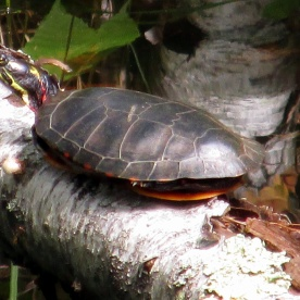 painted turtle, 17 Sept 2014