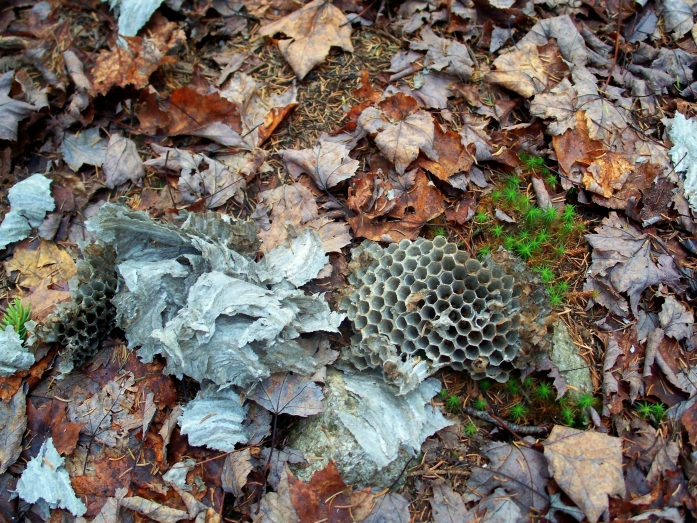 pieces of hornet's nest, Webb Forest Trail, NH, Oct 2012