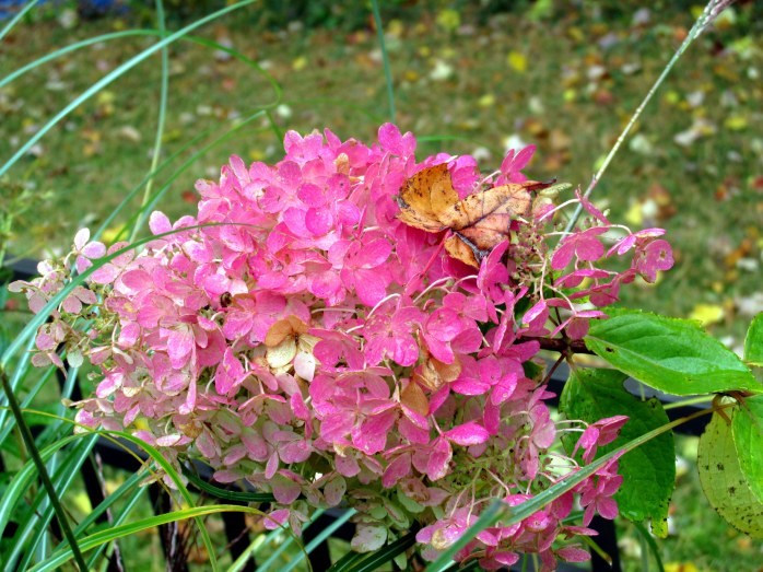 hydrangea bloom with maple leaf