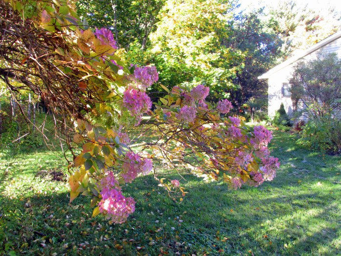 pinkhydrangeasideyardmorningsunlight15Oct2015