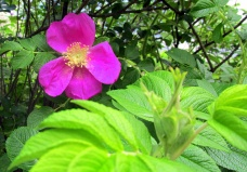 rosa rugosa, 14 June 2013