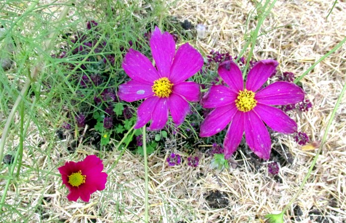 cosmos and alyssum