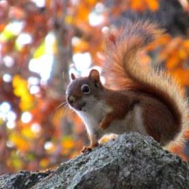red squirrel, 20 Oct 2014