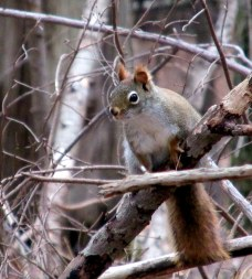 redsquirrelKHNP30April2015