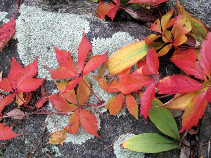 Virginia Creeper on rock wall