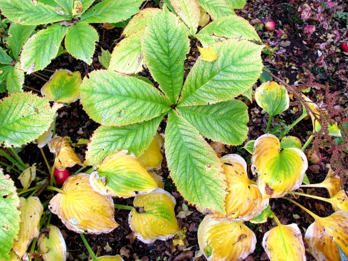 Rodgersia and hosta foliage