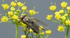flesh fly on dill flower, Aug 2014