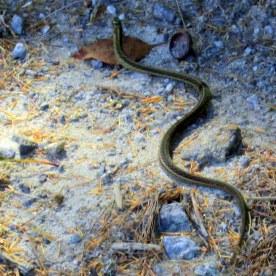 small garter snake, 31 Aug 2015