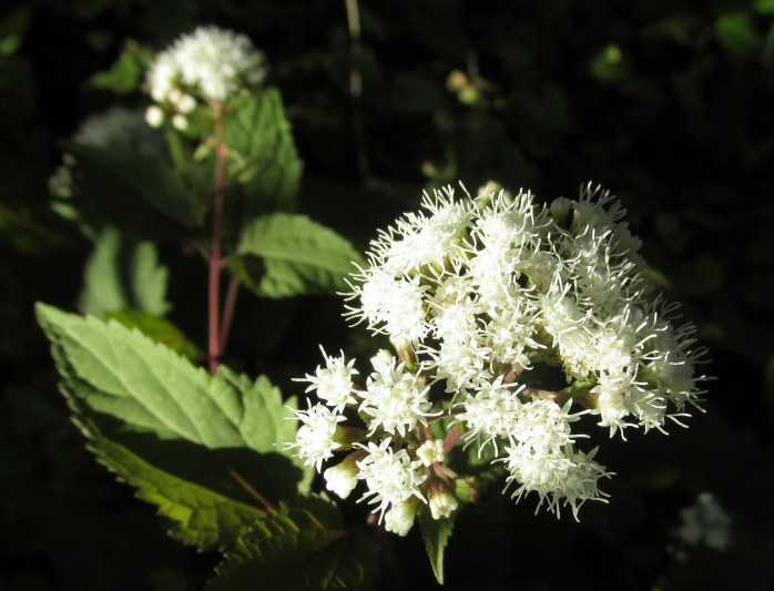 snakeroot in rock wall