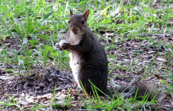 grey squirrel on ground, Jekyll Island, Sept 2014