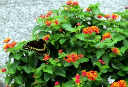 swallowtailonlantanabhistoricdistrictJI25Sept2013