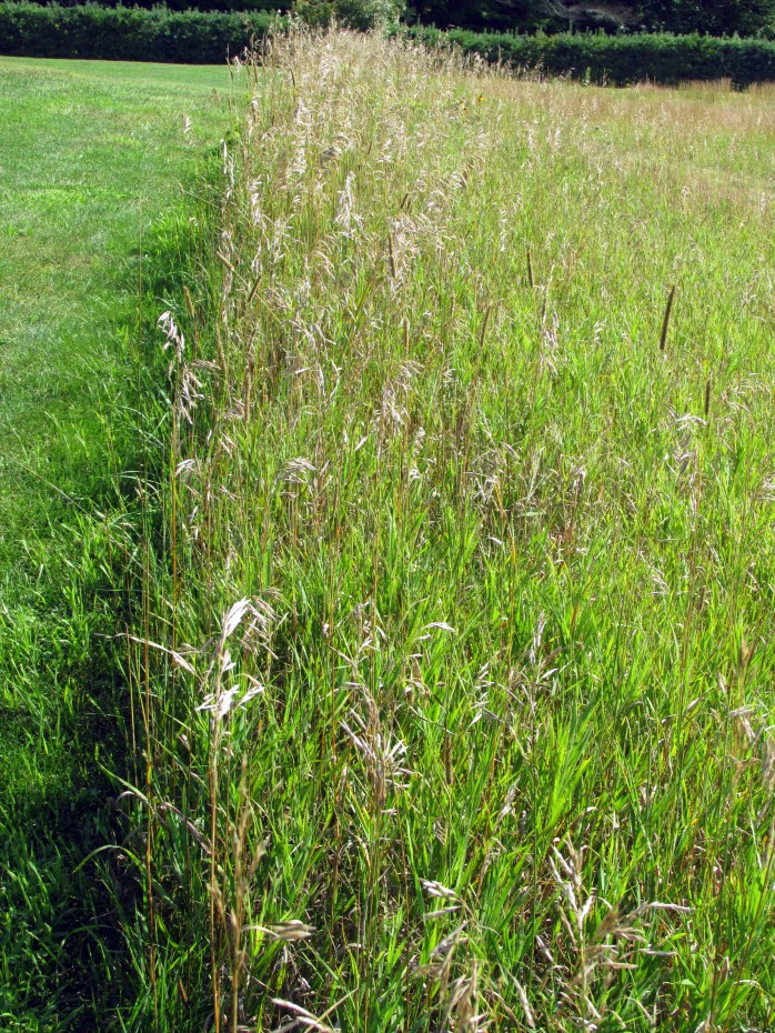 tall grasses, meadow, lawn edge, St. Gaudens, Aug. 2015