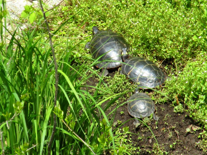 three painted turtles on pond edge, Coastal Maine Botanical Gardens, May 2014