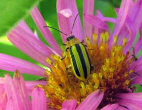 Striped Cucumber Beetle (Acalymma vittatum) in aster flower, Sept 2015