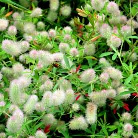 Trifolium arvense (Rabbits Foot Clover) , 30 July 2014