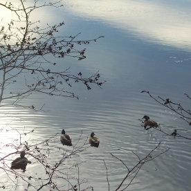 two pairs of ducks, 15 Nov 2012