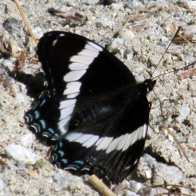 admiral butterfly, 16 June 2014