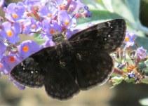 Wild Indigo Duskywing (Erynnis baptisiae) butterfly on buddleia, Aug 2014
