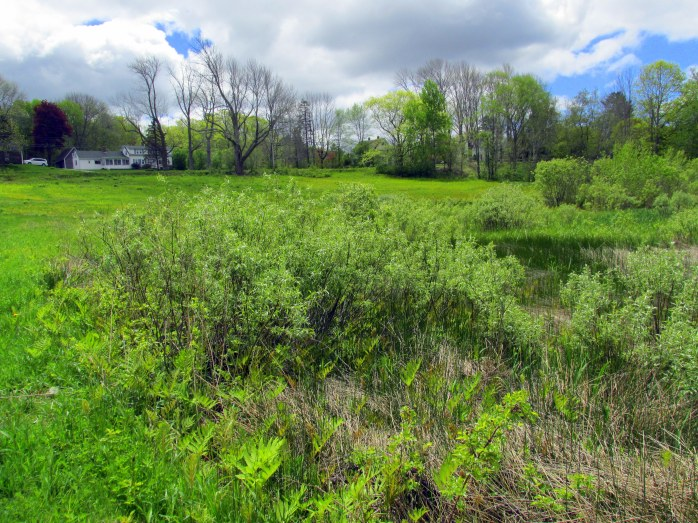 willows in wet area in Singing Meadows, Boothbay ME, May 2014