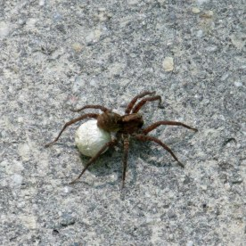 wolf spider with egg sac, 3 June 2014