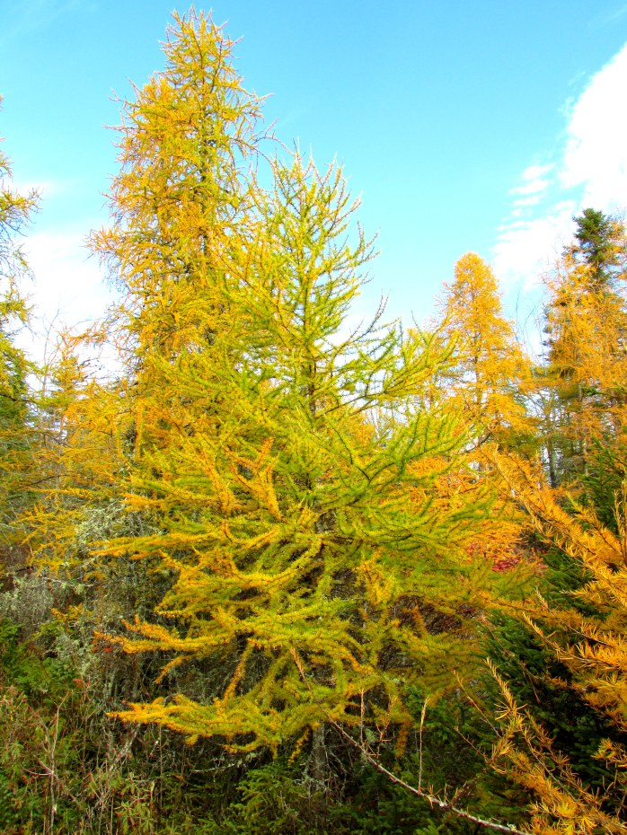 larches, 24 Oct 2015