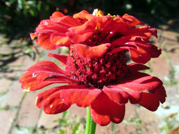 zinniadoubledeckerred8Oct2015