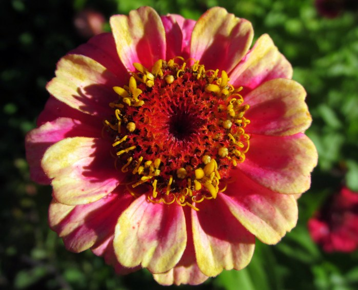zinniapinkyellowb8Oct2015
