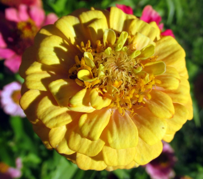 zinniayellow8Oct2015