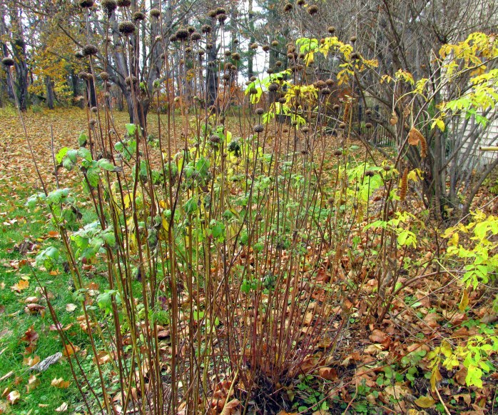 bee balm stalks, elderberry