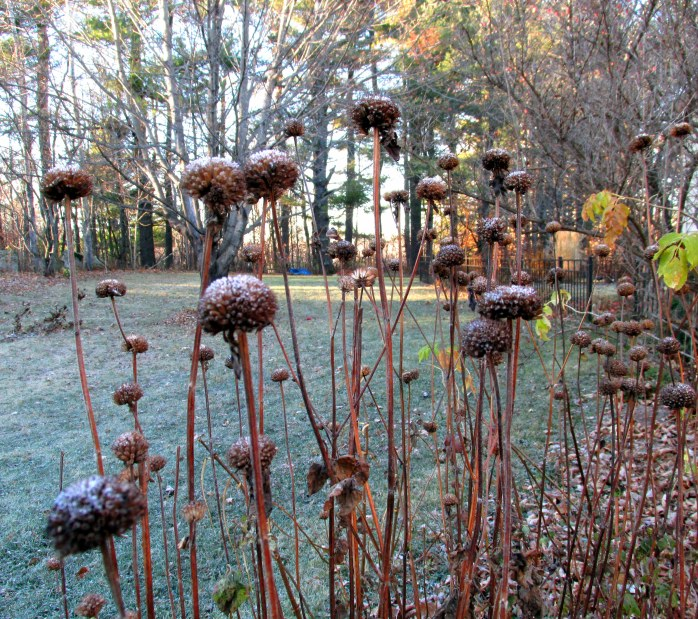 bee balm seedheads, backyard, NH - 18 Nov