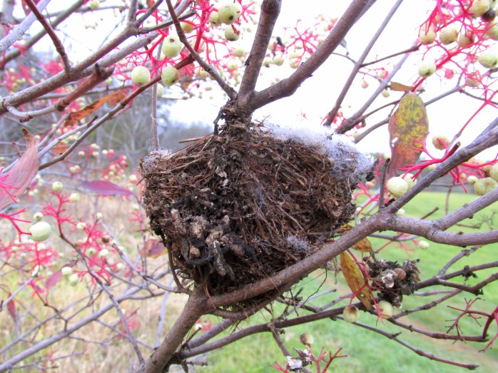nest in red osier dogwood, Battell Woods Trail (TAM)