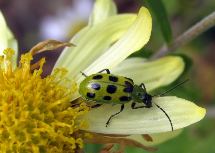 spotted cucumber beetle on annual mum