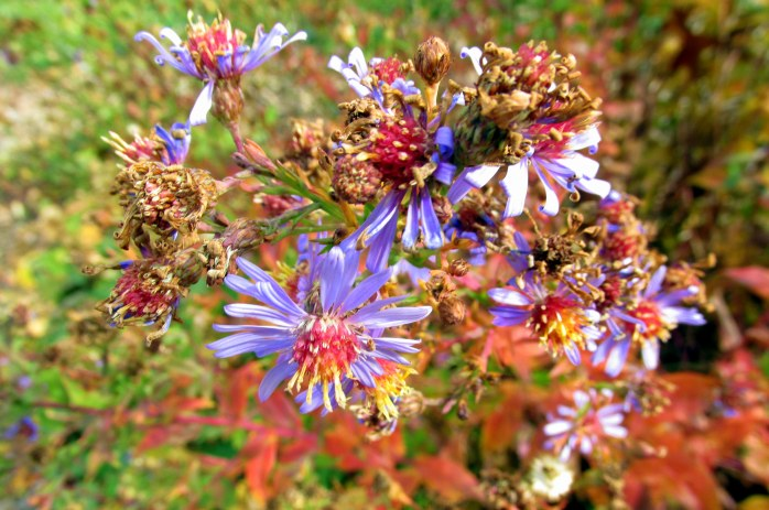 'Bluebird' aster still blooming, with red foliage