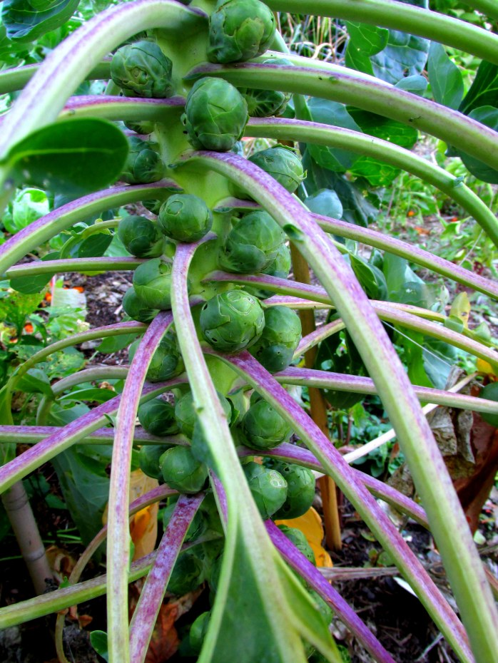 Brussels sprouts on stalk (12 Oct)