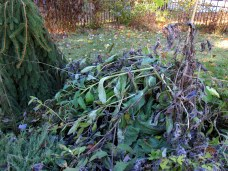 collapsed comfrey, pre-cutting