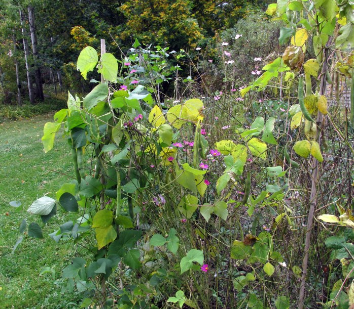 scarlet runner beans on the fence (14 Oct)