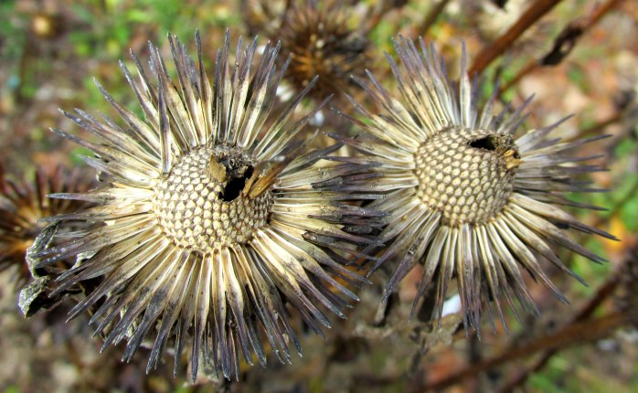 echinacea seedheads, backyard - 5 Nov